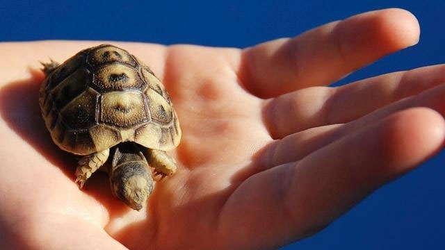 pet turtle in child's hand
