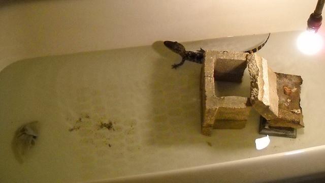 gator in tub