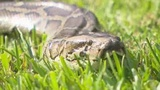 102 pythons caught as state snake hunt enters final weekend