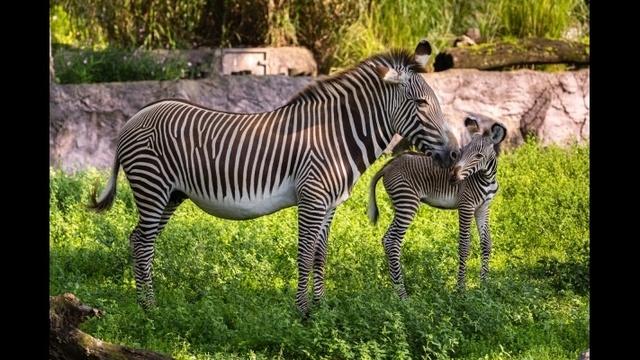 zebra3