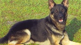 Volusia K-9 shot in line of duty to receive Purple Heart, Medal of Valor