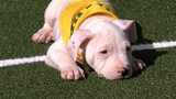 Puppy Bowl XII features 11 local puppies