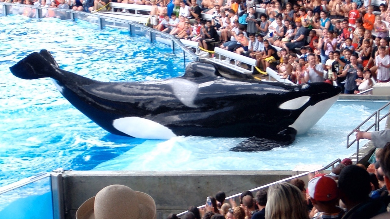 Incidents At Seaworld Parks: Scientists Bemoan SeaWorld Decision To Stop Breeding Orcas