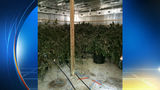 $500,000 marijuana grow operation dismantled in Central Florida