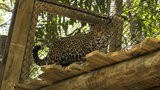 Jaguar exhibit expansion opens at Brevard Zoo