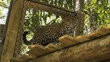 Jaguar exhibit expansion opens at Brevard Zoo