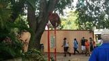 Escaped orangutan at Busch Gardens back in its enclosure, officials say