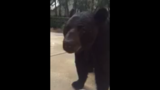 FWC to set traps after video shows close encounter with bear