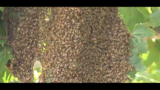 100,000 bees swarm Cocoa neighborhood