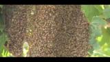 100,000 bees swarm Cocoa neighborhood