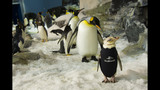 SeaWorld creates unique wetsuit for penguin