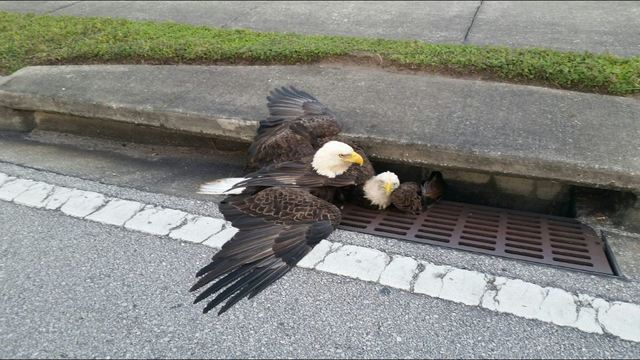 Two bald eagles stuck in a ditch