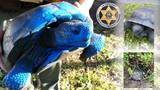 Endangered gopher tortoise found covered in blue paint