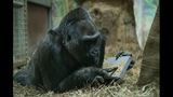 Oldest-known gorilla living in zoo gets cancerous tumor removed