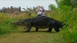 Video of massive Florida 'dinosaur' gator creates buzz