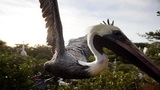 Dead pelicans in St. Pete leave wildlife officials baffled