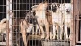 Dogs rescued from South Korean meat trade arrive in Orlando