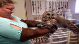 Owl rescued from truck grill recovers, released back into wild
