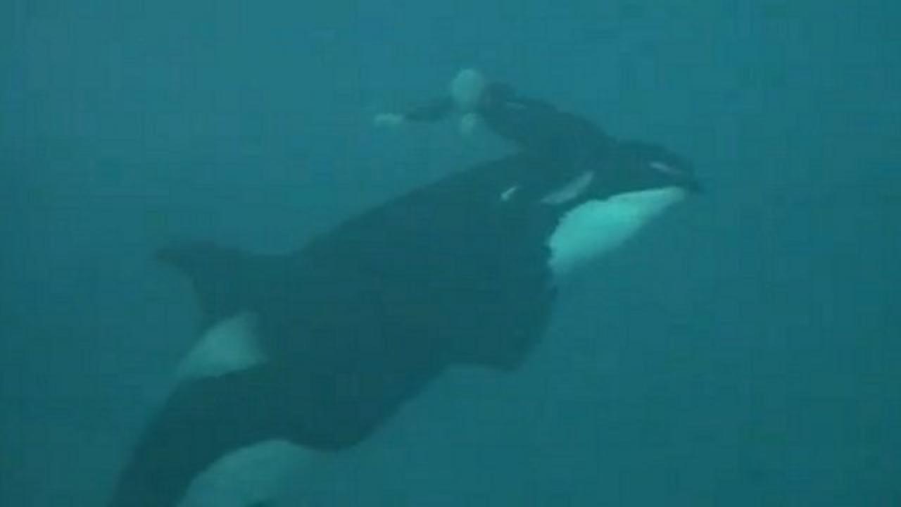 Video Shows Killer Whale Dragging Seaworld Trainer Underwater
