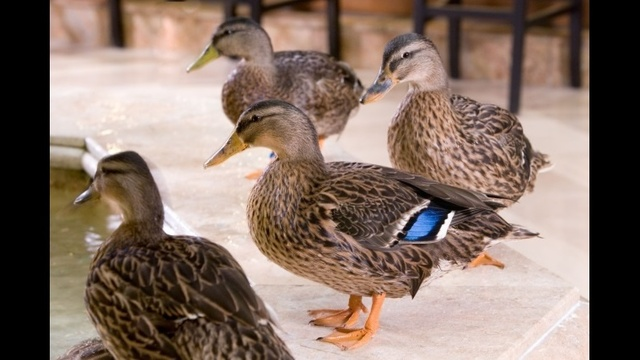 MORE DUCKS_21687666