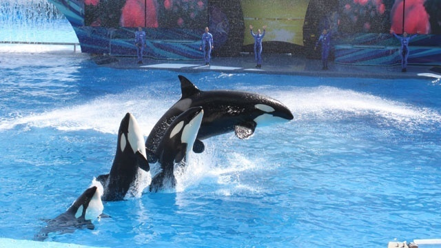 SeaWorld killer whales show_19875110