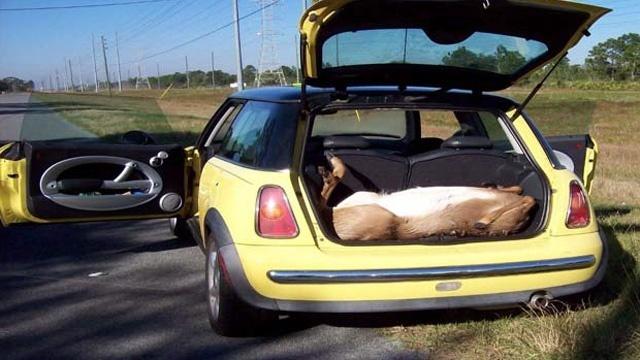 Video Thumbnail For 4 Men Kill Deer All Cram Inside Mini Cooper Orange County