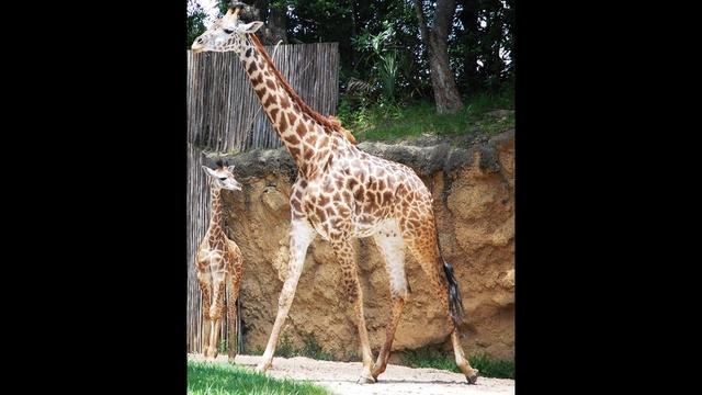 giraffe1_21389634