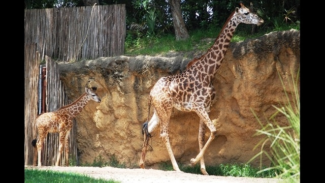 giraffe2_21389638