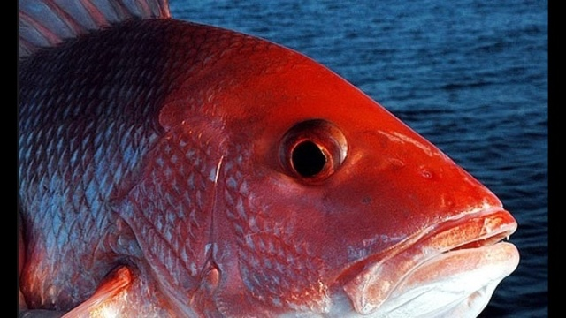 Florida adds 6 new red snapper fishing days