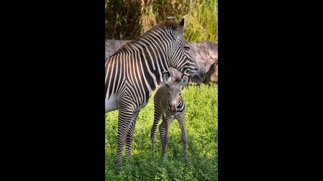 zebra1_21389622