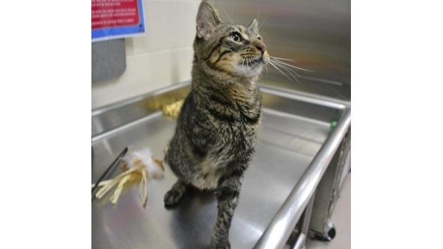 Silus the 3-legged cat