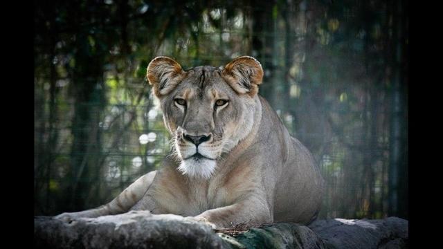 Lion_23756672