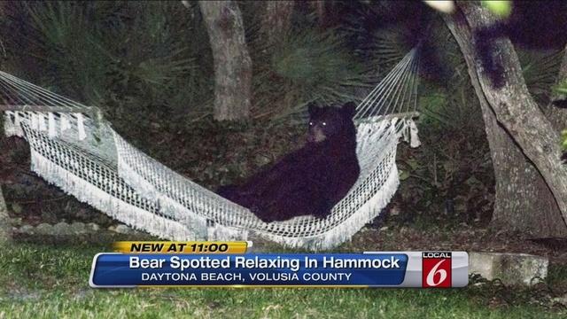 Bear In Hammock_26261366