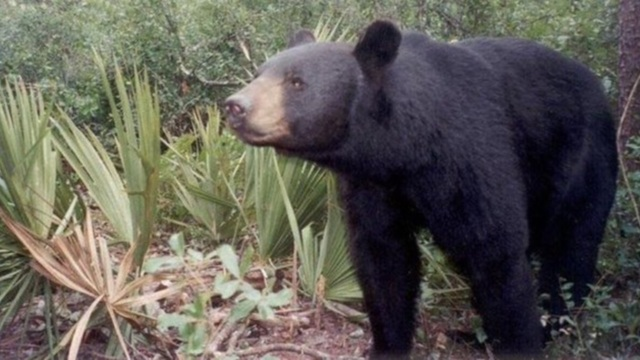 Florida black bears on the move, looking for food ahead of winter