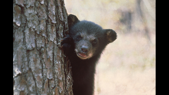 Watch: Bear safety tips from FWC