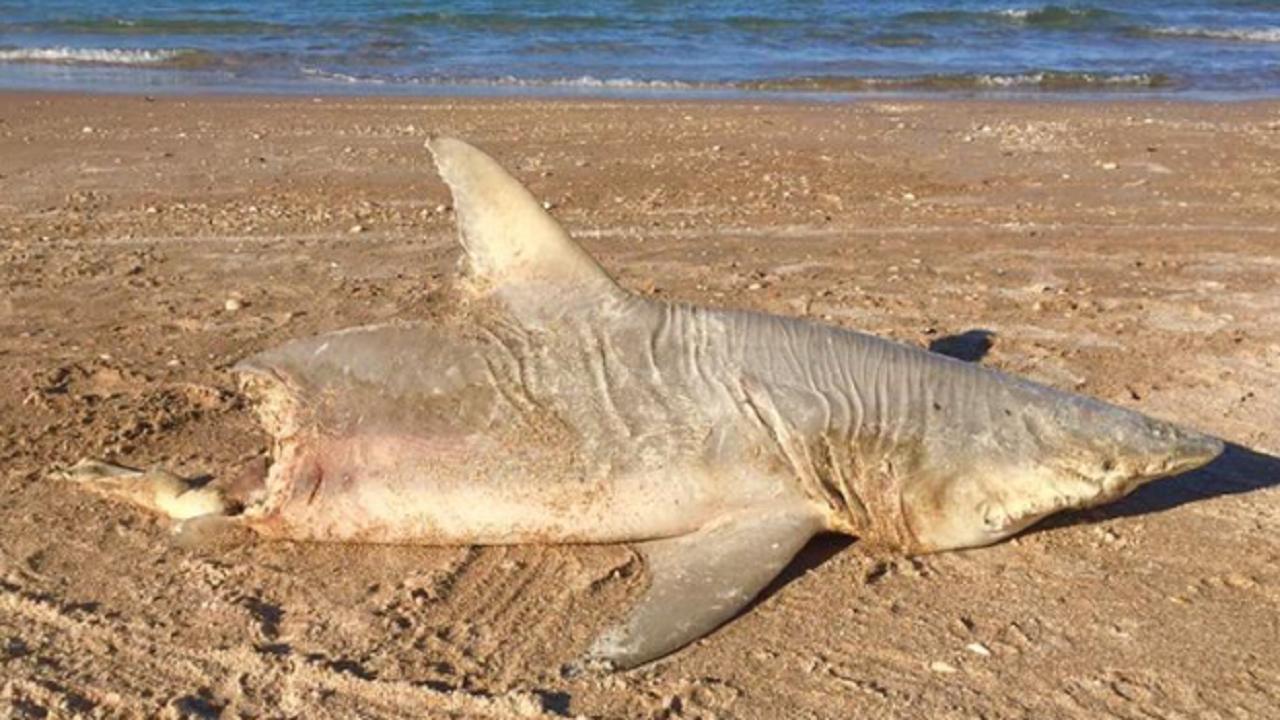 Half-eaten shark washes ashore on New Smyrna Beach