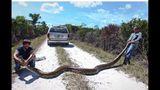 500 pythons killed in Florida Everglades hunt