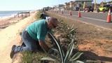 Volunteers work to restore dunes in Flagler County