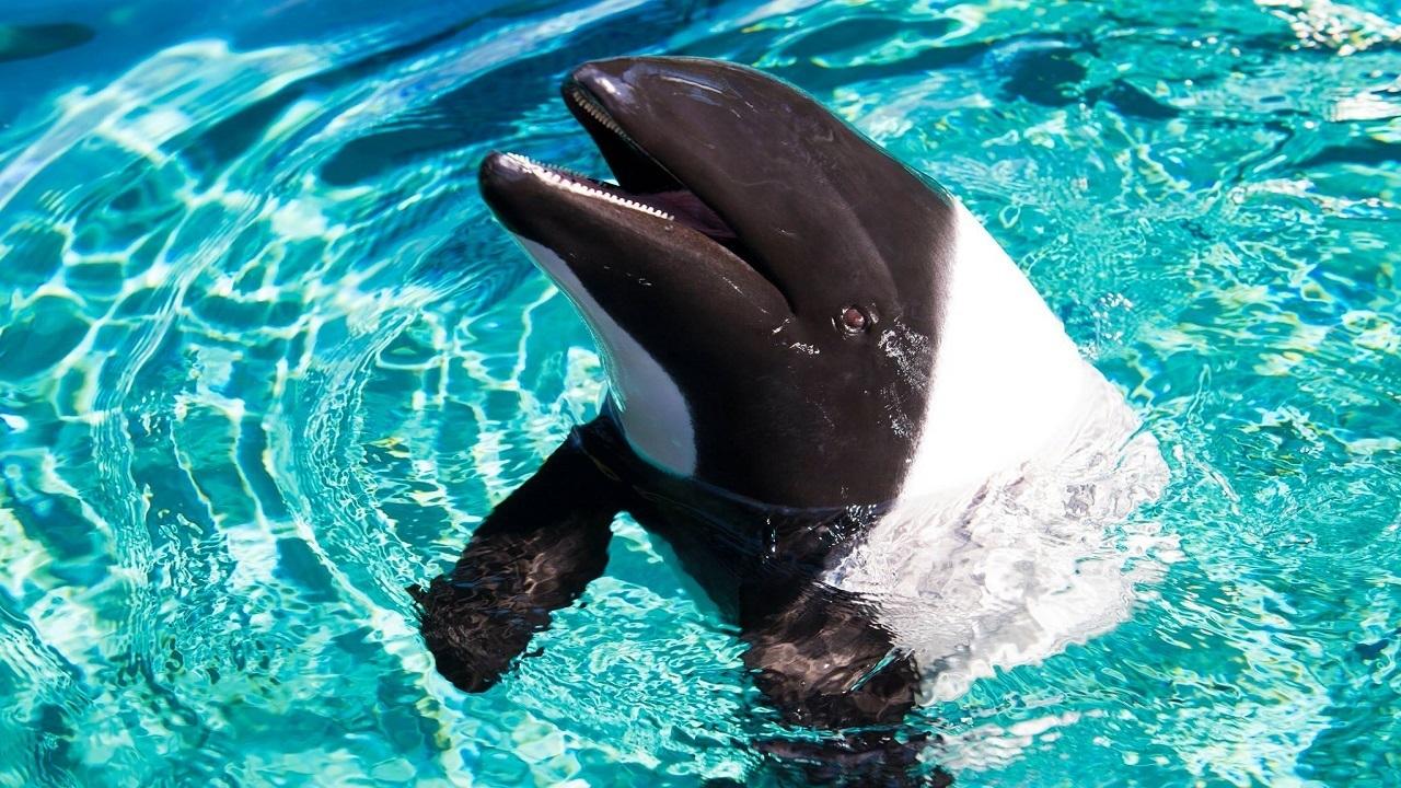 Northwest Credit Union >> Commerson's dolphin calf dies at Aquatica