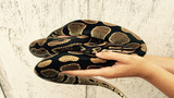 Python found slithering inside Florida home