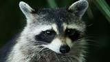 Raccoon causes power outage in Kissimmee