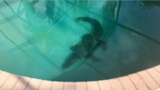 Video: Gator goes for a dip in swimming pool at Florida home