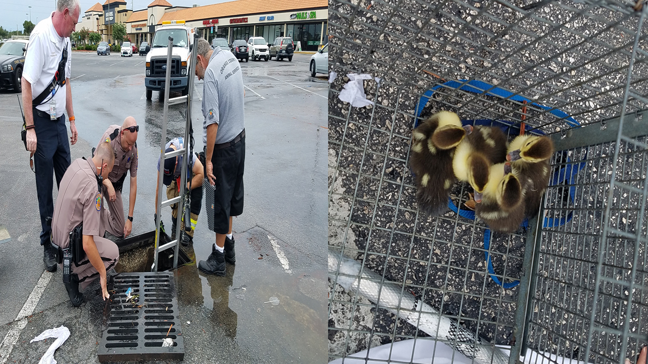 Authorities Rescue 13 Ducklings From Orange County Drain
