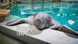 Snooty, oldest manatee in captivity, dies after 69th birthday