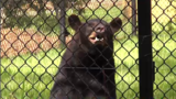 Central Florida Zoo new bear exhibit set to open