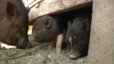 Tavares City Council votes against mini-pigs as pets