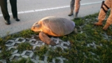 300-pound turtle rescued along SRA1A