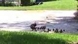Titusville firefighters rescue ducklings from storm drain