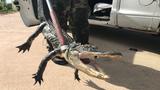 5-foot gator caught in Palm Bay neighborhood