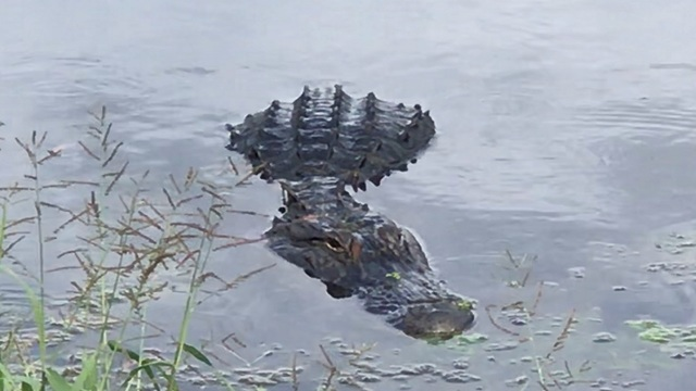 Woman attacked by alligator while walking dog